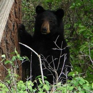 Black Bear in lower Mount Jumbo open space