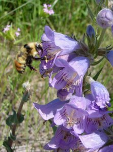 Fuzzytongue Penstemon and bumblebee