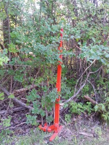 Buckthorn shrub with 5-foot weed wrench for scale