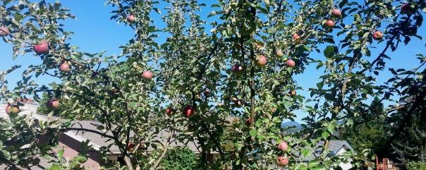 Honeycrisp Apples in Lincoln Hills, Rattlesnake Valley, Missoula