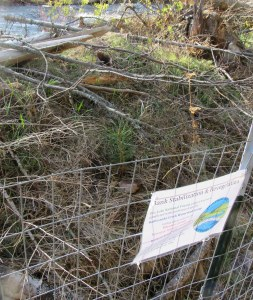 newly-planted pine seedling inside the fenced bank stabilization area