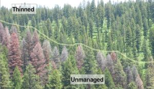 "Image from the Lolo N.F. Marshall Woods Restoration Project information page (click on image for link to pdf document). This graphic is used by project proponents to illustrate the potential improvement in ecological ""resilience"" of managed forests in this region."