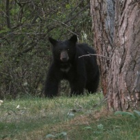Black bear in Lincoln Hills